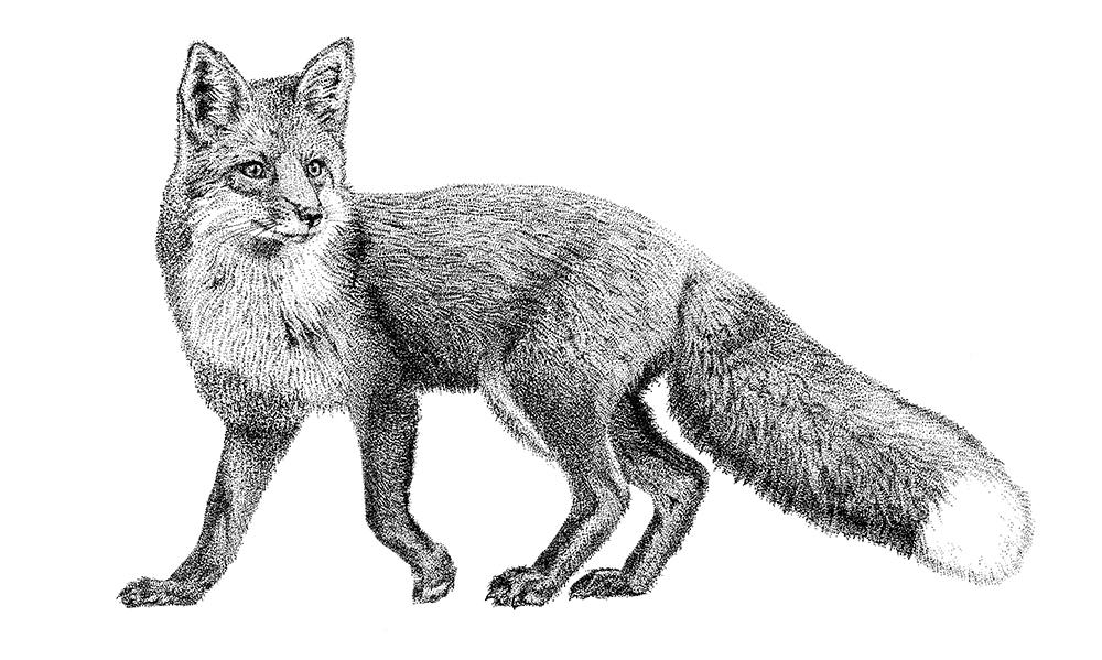 Rode vos dier illustratie Fine Forest transparante muursticker